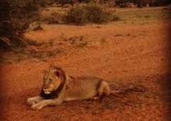 Watch a Lion Roar from a Few Feet Away at Tswalu Kalahari